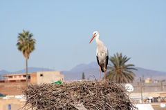 Stork in Morocco Royalty Free Stock Photos