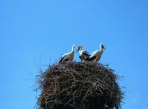 Stork mutter feeding the little baby in the nest Stock Photography