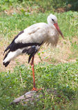 Stork in nature Stock Photography