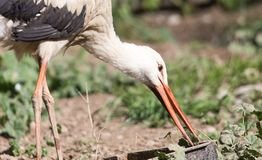 Stork in nature in zoo stock photos