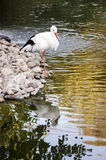 Stork at near the pond. Stock Images