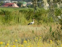 Stork near the village. White stork is hiding in grass while looking for food near a human settlement by the river Inhul, Ukraine. Summer countryside river royalty free stock image