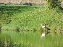 Stork near water Royalty Free Stock Images