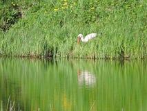 Stork near water Stock Image
