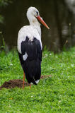 Stork near the water. For storks are characterized by long legs, is covered with a mesh skin; beak long, straight, conical; the front toes are connected by a Stock Images