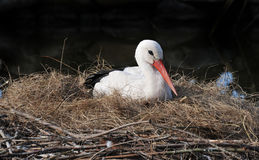 Stork on a nest Stock Images