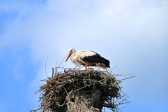 Stork on the nest. Royalty Free Stock Image