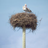 Stork in the nest. Lonely stork waiting in the nest Stock Photography