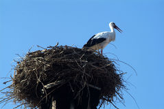 Stork on the nest. A stork on the nest in Racconigi Park, near Turin, Italy Royalty Free Stock Image