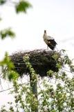 Stork in nest Royalty Free Stock Image