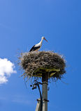 Stork in nest Royalty Free Stock Photo