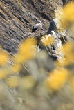 Stork nest. At the edge of the cliff, Cabo Sardao, Alentejo, Portugal Royalty Free Stock Images