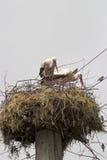 Stork nest Stock Image