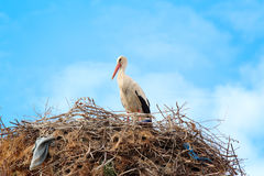 Stork in a nest Royalty Free Stock Images