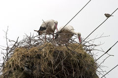 Stork nest Royalty Free Stock Photography