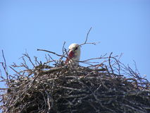 Stork in nest. Branches head Stock Images