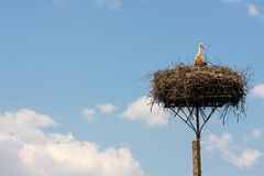 Stork in a nest Stock Photography