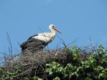 Stork in the nest. The stork is sitting in the nest relating to the blue sky Stock Photography
