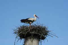 Stork in the Nest. A stork in the nest stock photos