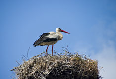 Stork on the nest. A stork standing in its nest, blue sky in the background Royalty Free Stock Photography