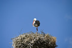 Stork on the nest. A stork standing in its nest, blue sky in the background Royalty Free Stock Images