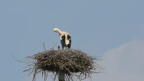 Stork stock video footage