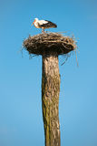 Stork with nest Stock Photo