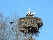 Stork nest with birds Stock Images