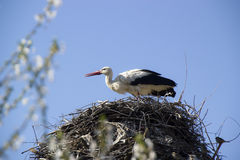 Stork in nest. Stork in the nest with blurred spring flowers in front Stock Photo