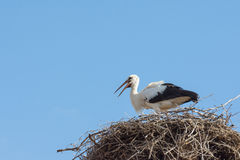 Stork in the nest built with branches Stock Photos