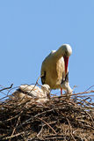 Stork nest with chicks Royalty Free Stock Image