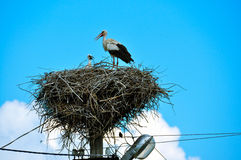 Stork nest and chicks in the Ukrainian village Royalty Free Stock Photography