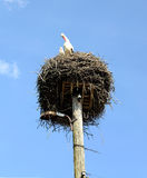 Stork nest. Couple of storks in the nest sits and looks down Stock Images
