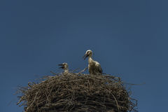 Stork on nest with dark blue sky Stock Images