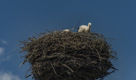 Stork on nest with dark blue sky Stock Photo