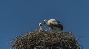 Stork on nest with dark blue sky Stock Photography