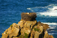Stork nest at the edge of the cliff, Cabo Sardao, Alentejo, Port Stock Images