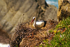 Stork nest at the edge of the cliff, Cabo Sardao, Alentejo, Port Stock Photography