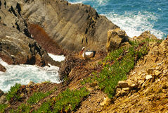 Stork nest at the edge of the cliff, Cabo Sardao, Alentejo, Port. Ugal Stock Image