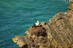 Stork nest at the edge of the cliff, Cabo Sardao, Alentejo, Port. Ugal Royalty Free Stock Photos