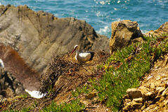 Stork nest at the edge of the cliff, Cabo Sardao, Alentejo, Port Stock Photos