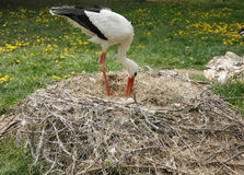 Stork nest on the farm in rural location with eggs Royalty Free Stock Image