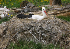 Stork nest on the farm in rural location with eggs Stock Photography