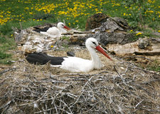 Stork nest on the farm in rural location with eggs Royalty Free Stock Photography