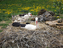 Stork nest on the farm in rural location with eggs Stock Photos