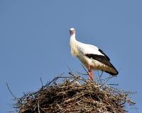 Stork in the nest I Stock Image