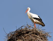 Stork in the nest II Royalty Free Stock Image