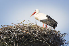 Stork in nest. Image of a stork in its nest with blue sky stock photography