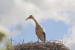 Stork in nest Royalty Free Stock Photos