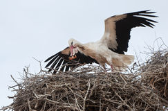 Stork in the nest with a leaf in its beak Stock Image